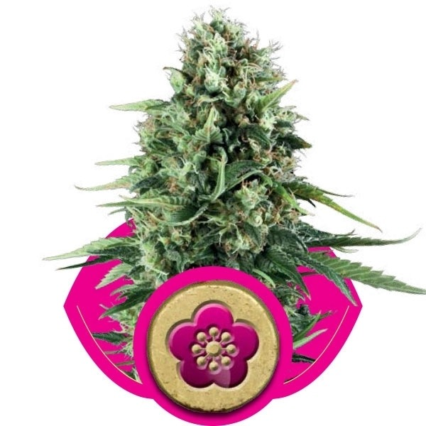 Power Flower - feminizovaná semínka 3 ks Royal Queen Seeds