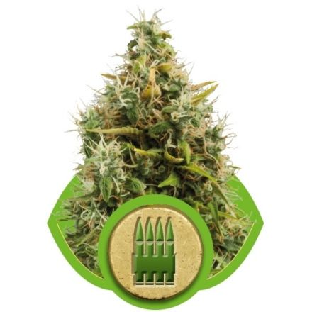 Royal AK Automatic - fem. a samonakvétací semínka 3ks Royal Queen Seeds