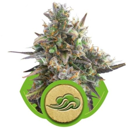 Royal Bluematic - fem. a samonakvétací semínka 3ks Royal Queen seeds