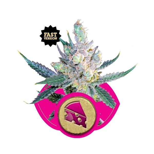 Royal Cheese 3 ks feminizované semienka Royal Queen Seeds