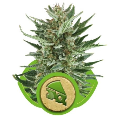Royal Cheese Automatic - fem. a autoflowering semienka 3ks Royal Queen Seeds