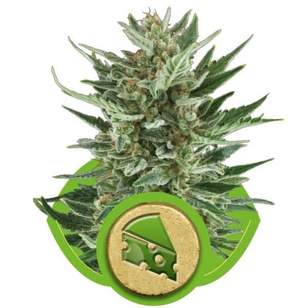 Royal Cheese Automatic - fem. a samonakvétací semínka 3ks Royal Queen Seeds