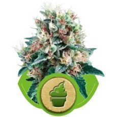 Royal Creamatic - fem. a autoflowering semienka 5ks Royal Queen Seeds