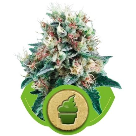Royal Creamatic - fem. a autoflowering semienka 10ks Royal Queen Seeds