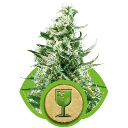 Royal Critical Automatic - fem. a autoflowering semienka 5ks Royal Queen Seeds