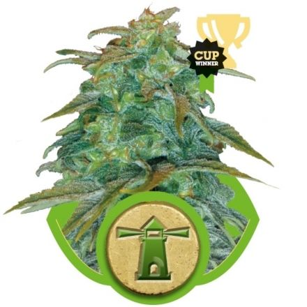 Royal Haze Automatic - fem. a autoflowering semienka 3ks Royal Queen Seeds