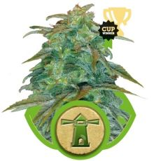 Royal Haze Automatic - fem. a samonakvétací semínka 10ks Royal Queen Seeds