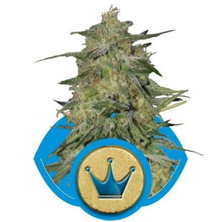 Royal Highness - feminizované semienka 5ks Royal Queen Seeds