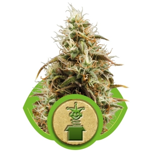 Jack Herer Automatic - fem. a autoflowering semienka 10ks Royal Queen Seeds