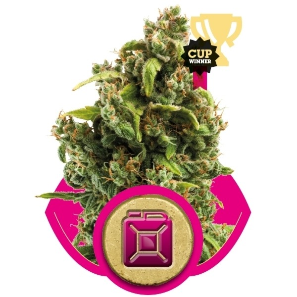 Sour Diesel - feminizovaná semínka 10ks Royal Queen Seeds