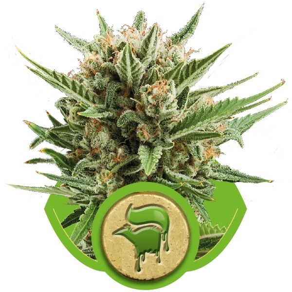 Sweet Skunk Automatic - fem. a autoflowering semienka 3ks Royal Queen seeds