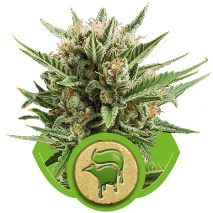 Sweet Skunk Automatic - fem. a autoflowering semienka 10ks Royal Queen seeds