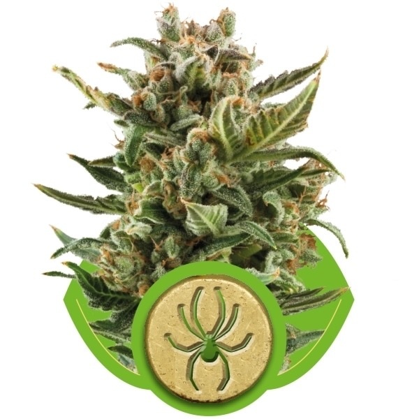 White Widow Automatic - fem. a autoflowering semienka 3ks Royal Queen Seeds