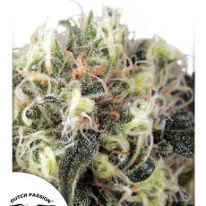 Snow Bud - feminizovaná semena 5ks Dutch Passion