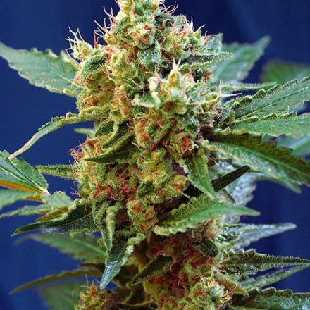 Cream Mandarine XL Auto ® - 10 ks samonakvétacích semínek Sweet Seeds