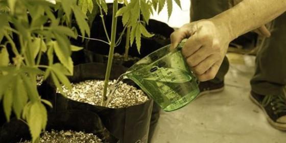 Rostliny konopí potřebují dostatečnou zálivku obohacenou o kvalitní hnojiva, všeho moc však škodí, buďte opatrní