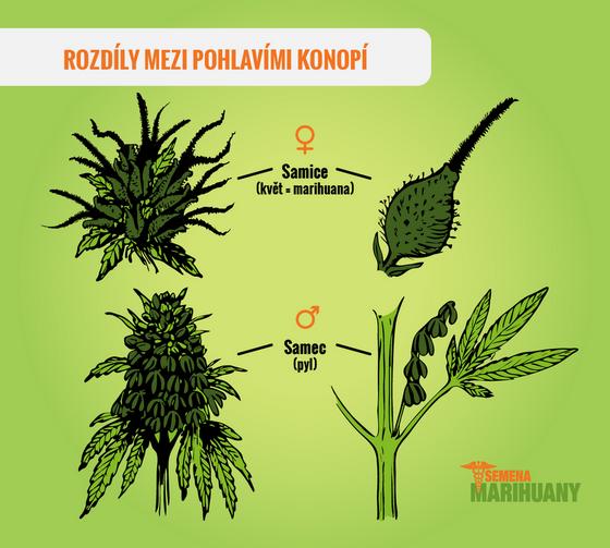 Rozdíl mezi samčí a samičí rostlinou
