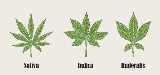 3 druhy konopí: Indica, Sativa a Ruderalis (nejméně používaná)