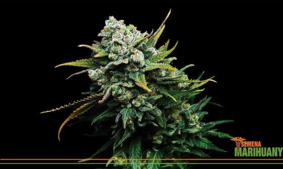 léčebné konopí semena