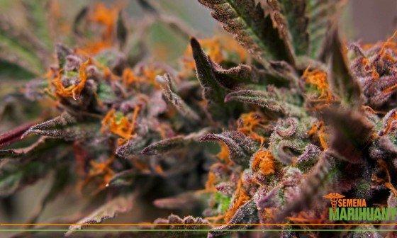 odrůda konopí léčebné