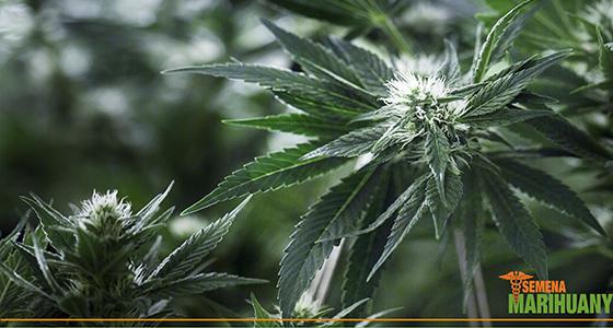 kanabinoidy účinek CBD THC