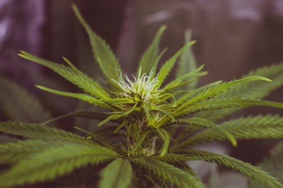 léčba konopím, huntington, léčba marihuanou, thc, cbd
