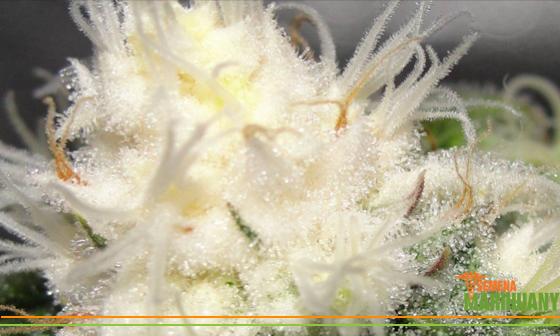 albín konopí