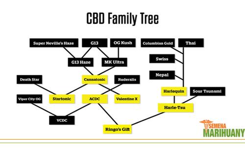 cbd genetika