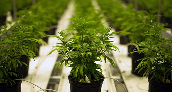 citronove odrůdy konopí marihuana