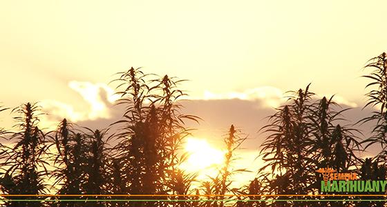 Marihuana konopí a čas