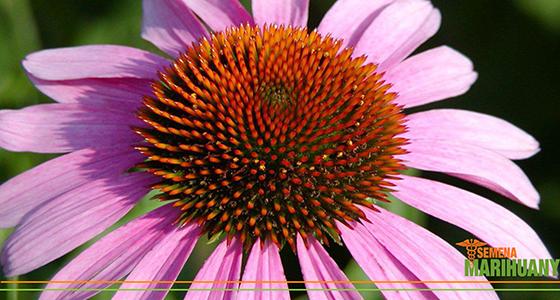 třapatka echinacea proti nachlazení