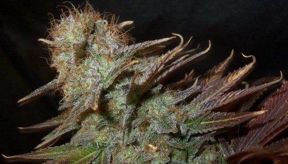 Nejvyšší obsahy THC a vítěz cannabis cupu Blueberry