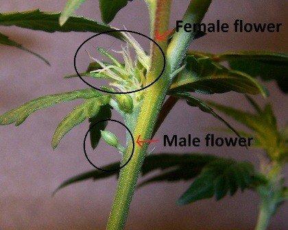 Rostlina hermafrodit