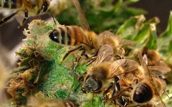 Včely sbírají med z modelu California Orange
