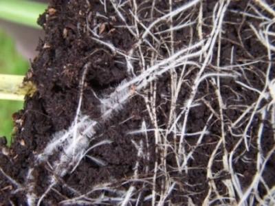 Oslabený kořenový systém