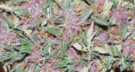 Purple - fialová marihuana