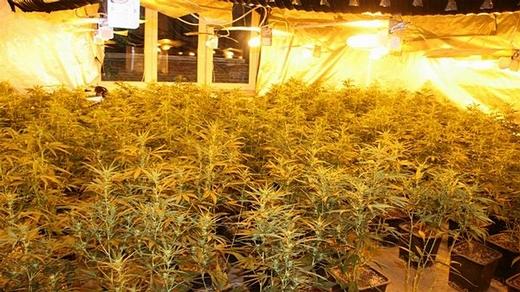 pestiareň marihuany
