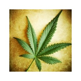 Tři nejstarší genetiky marihuany