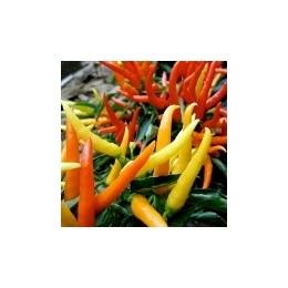 Vlastné chilli papričky v kvetináči