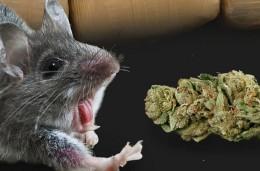 """Marihuana a """"Spice"""" mohou vyvolávat záchvaty, tvrdí studie"""