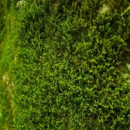 Vědci objevili vzácný mech obsahující látky podobné THC