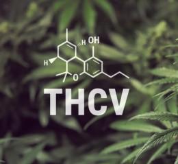 První semena s vysokým podílem THCV