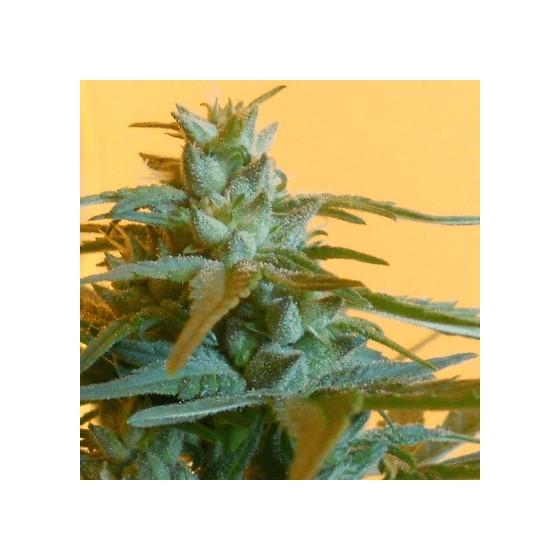 Co o konopí nevíte - 40 faktů o marihuaně