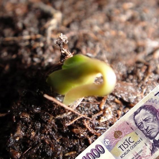 Balkónové pěstování do tisícovky