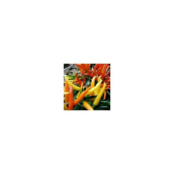 Vlastní chilli papričky v květináči