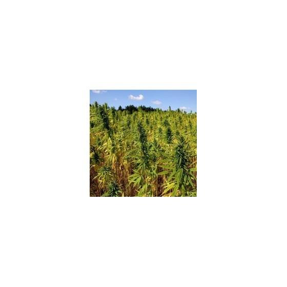 Největší producenti marihuany ve světě