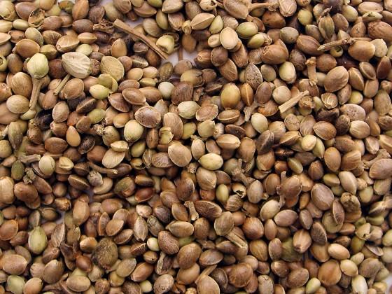 Konopné semienka