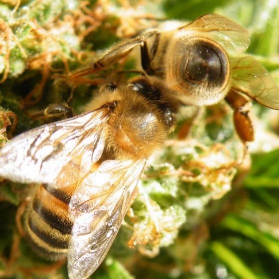 Konopný med