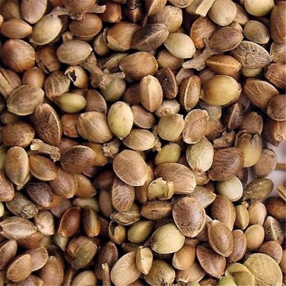Semená marihuany - univerzálny zdroj výživy