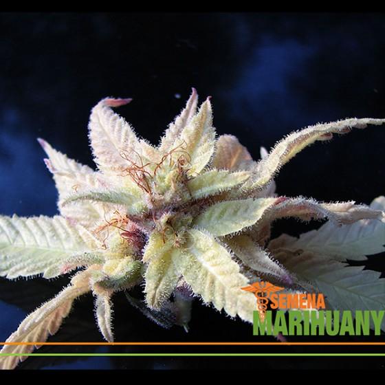 Bílé Konopí a Albíni mezi rostlinami